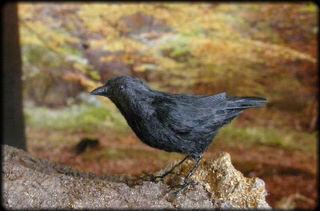 Crow-1-1